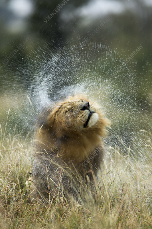 Lion male shaking his head after rain