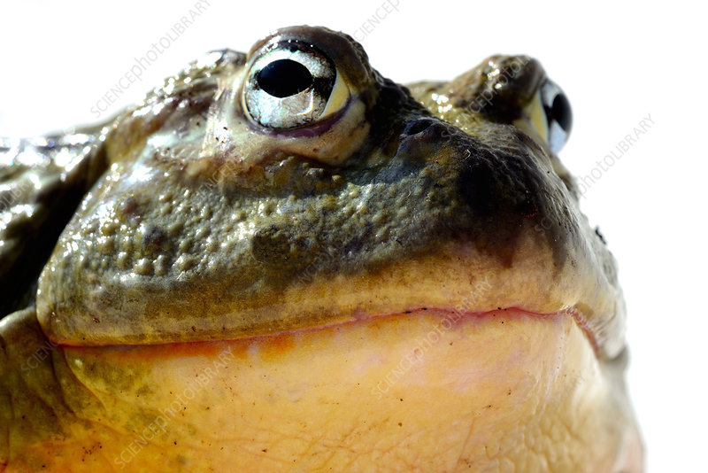 African bullfrog captive from South Africa