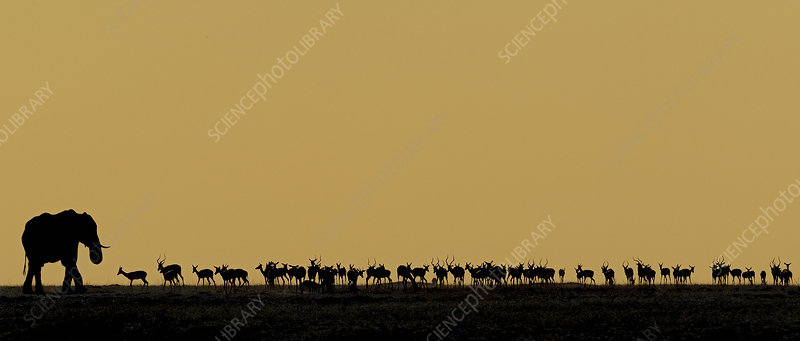 African elephant bull and a herd of Impala