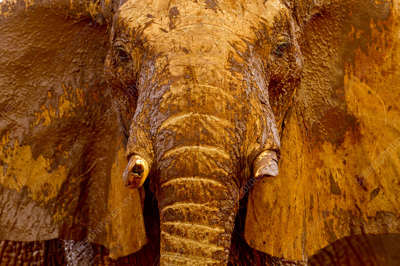 African elephant male covered with mud at a water hole