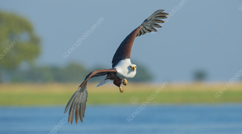 African fish eagle in flight, Chobe National Park, Botswana