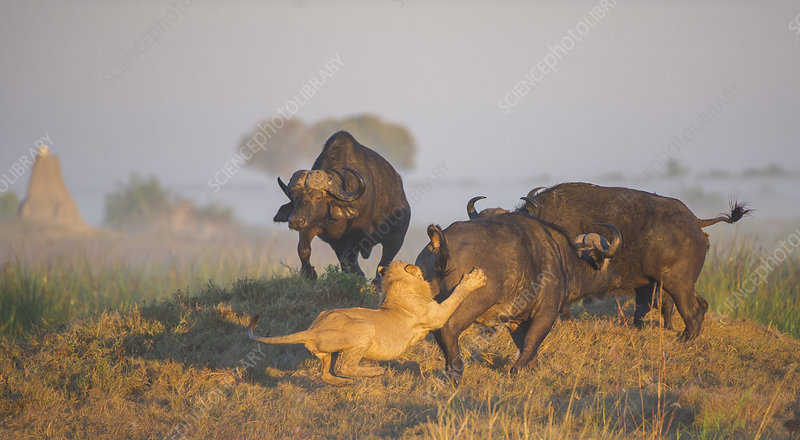 African lion attacking an African buffalo