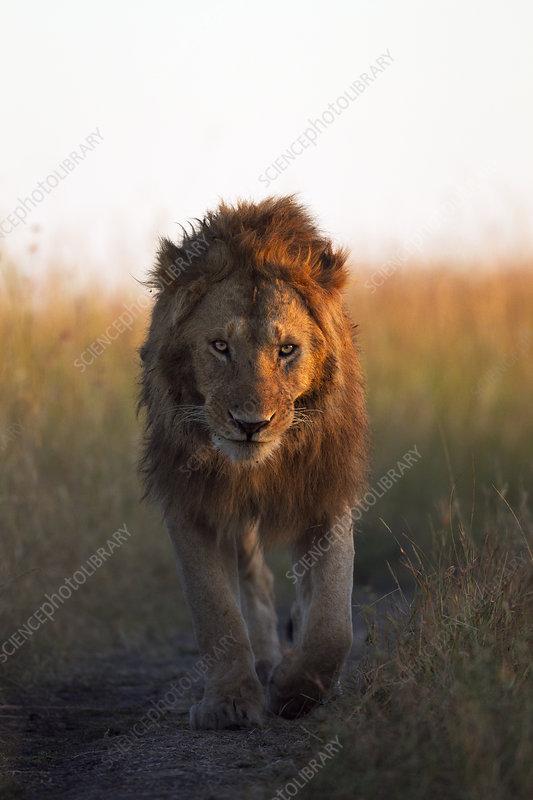 African Lion male walking across grassland