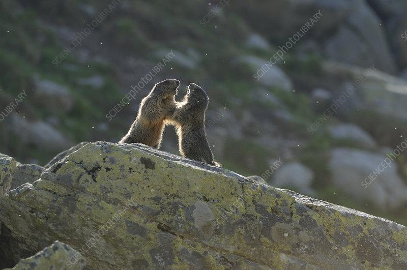 Alpine Marmots fighting over territory