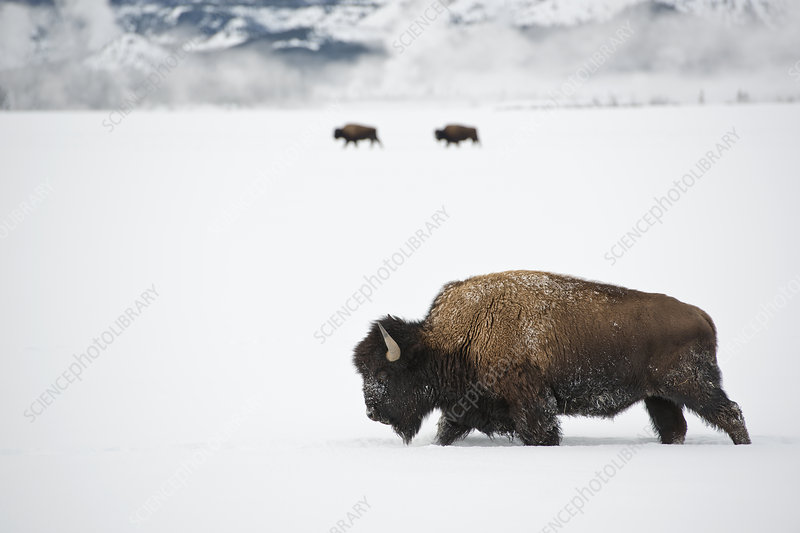 American Bison in snow, Yellowstone National Park, USA