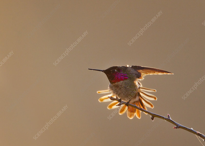 Anna's Hummingbird with tail feathers outstretched