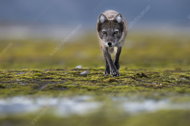 Arctic fox searching for food near water