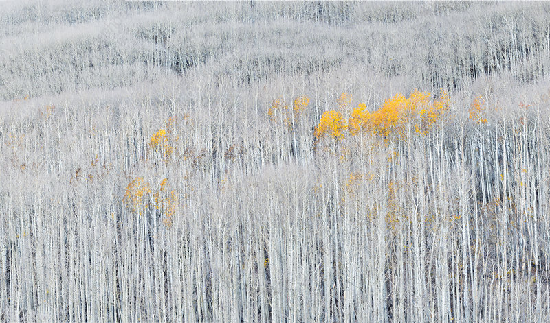 Autumn leaved Aspen trees (Populus) amongst bare trees
