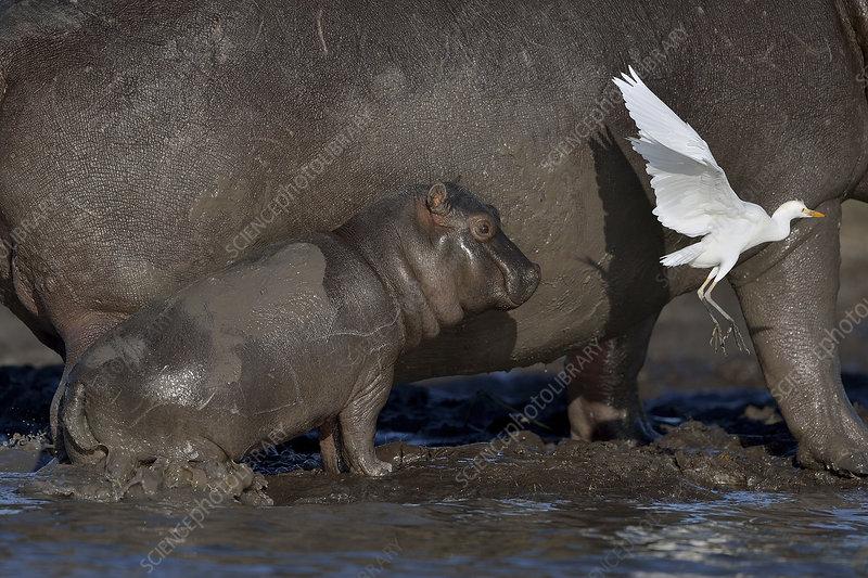 Baby Hippopotamus spooked by Little egret in flight