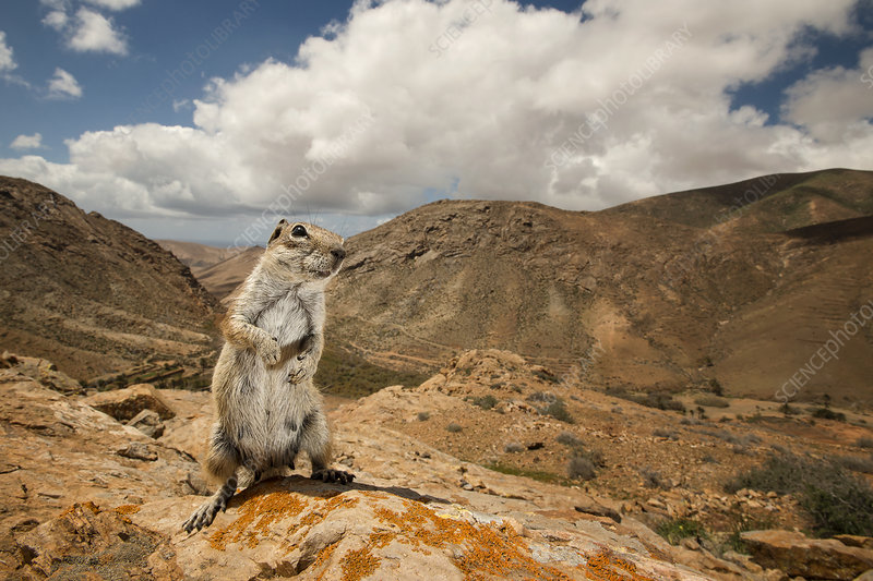 Barbary ground squirrel in arid mountain habitat
