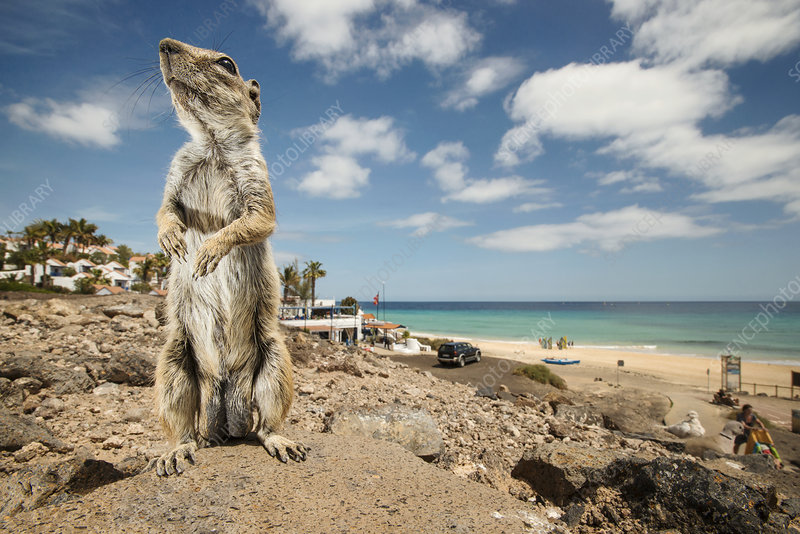 Barbary ground squirrel outside beach-side resort