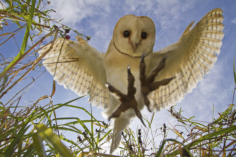 Barn Owl hovering, Somerset, UK