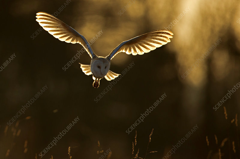 Barn Owl hunting at sunrise, UK, March
