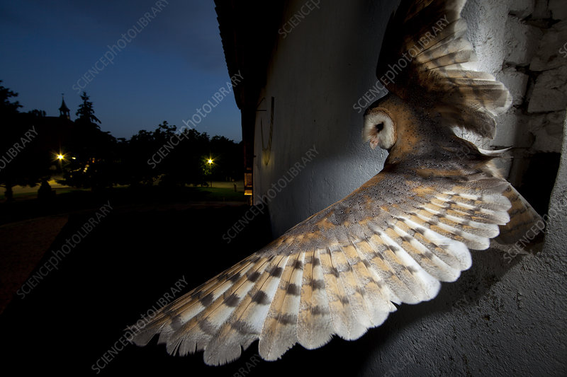 Barn owl taking off from window