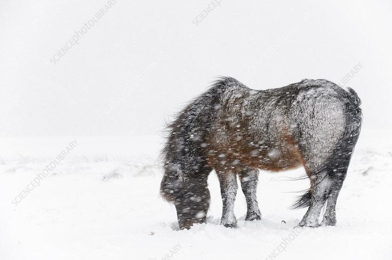 Bay Icelandic horse feeding in the snow