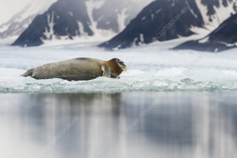 Bearded seal resting on fjord ice, Liefdefjorden, Norway