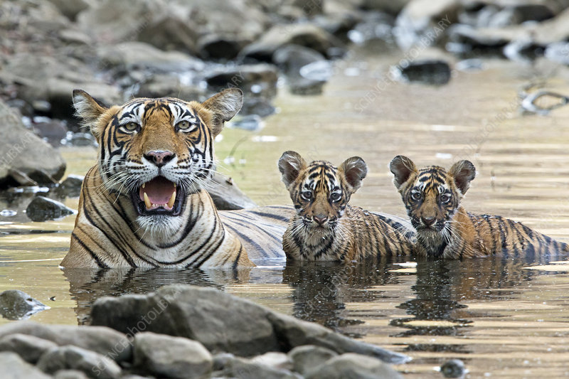 Bengal Tiger female with cubs in water