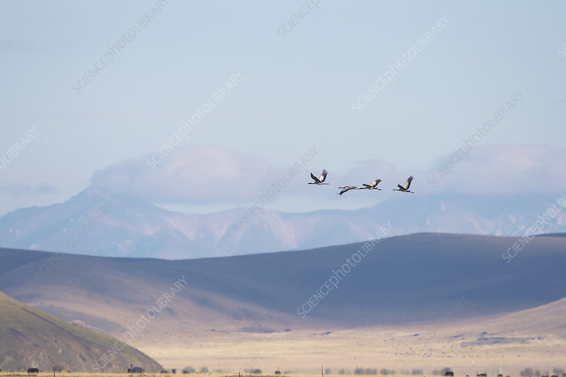 Black necked cranes in flight over mountain plains