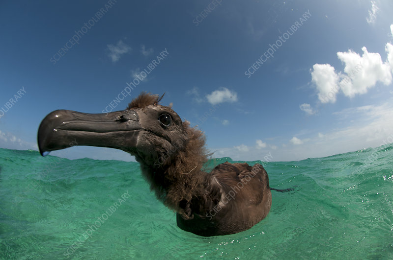 Black-footed albatross fledged juvenile on the water