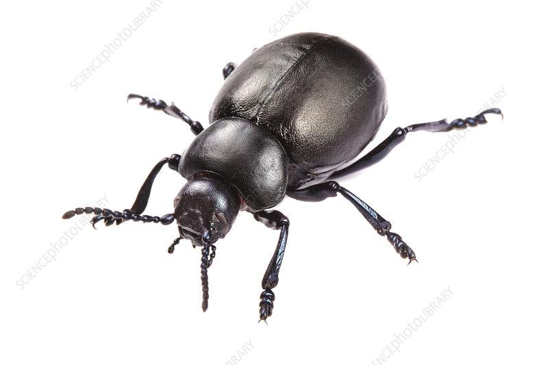 Bloody-nosed Beetle