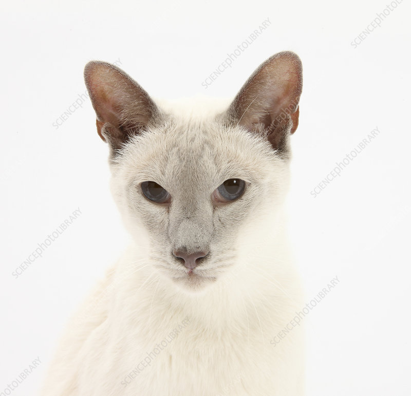 Blue point Siamese cat, 9 years