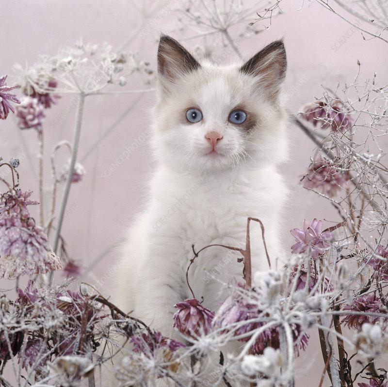 Blue-eyed bicolour ragdoll-cross kitten