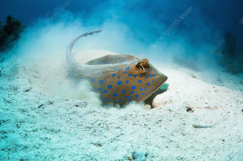 Bluespotted ribbontail ray foraging