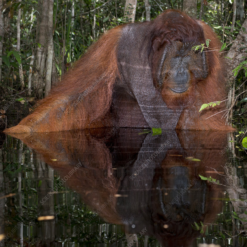 Bornean Orangutan male sitting and looking into the water
