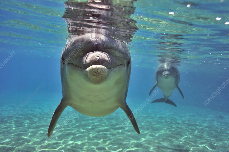 Bottlenose dolphins approaching with curiosity