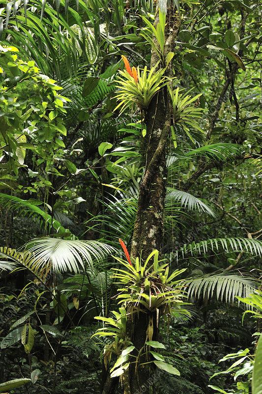 Bromeliads (Bromeliaceae) in flower in rainforest