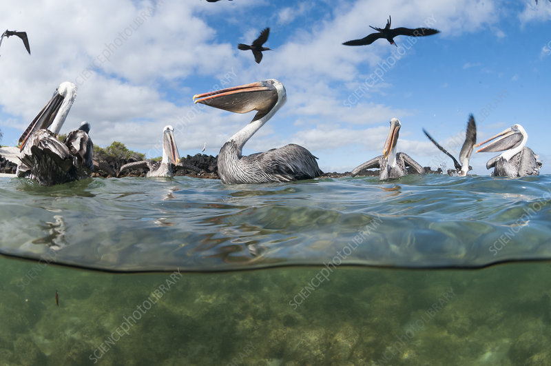 Brown pelicans on water, split level view, Galapagos