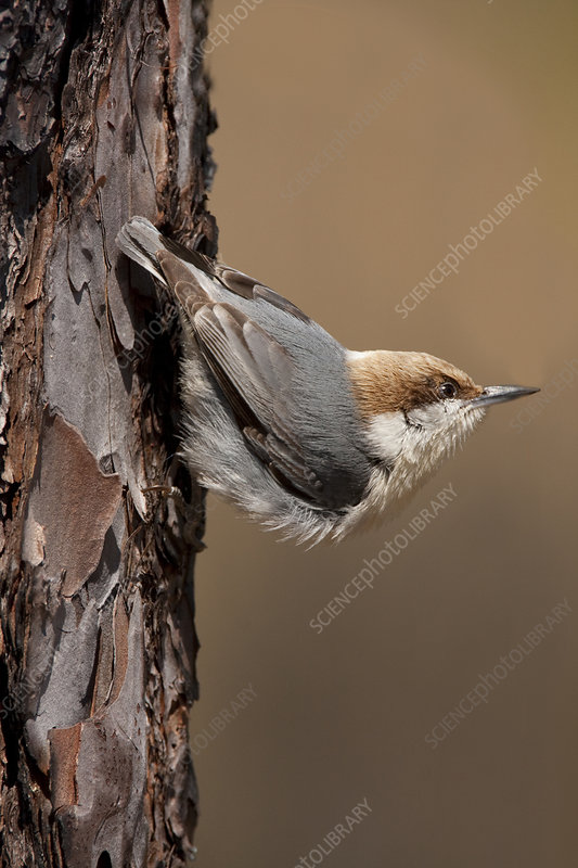 Brown-headed nuthatch, male North Florida, USA, March