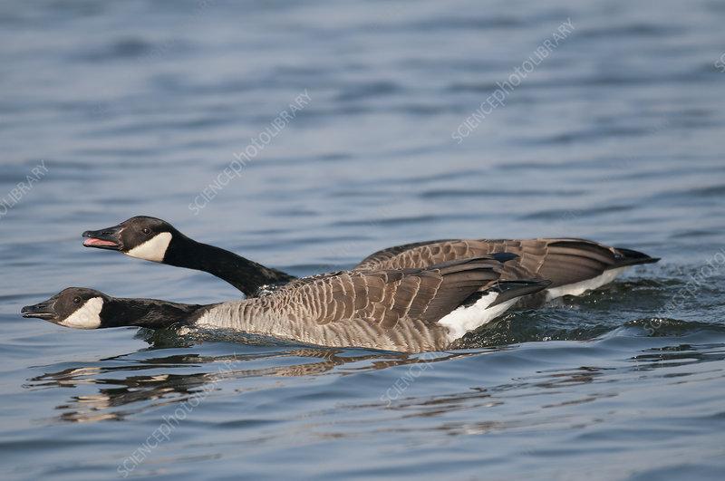 Canada geese defending territory, Antwerp, Belgium, March