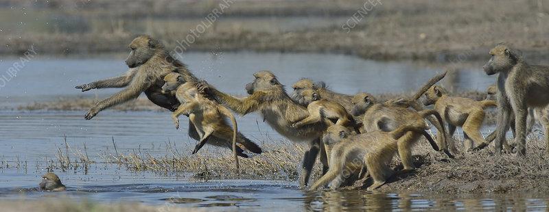 Chacma baboon troop crossing Chobe River, Botswana, May