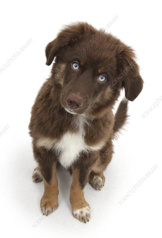 Chocolate blue eyed Mini American Shepherd puppy