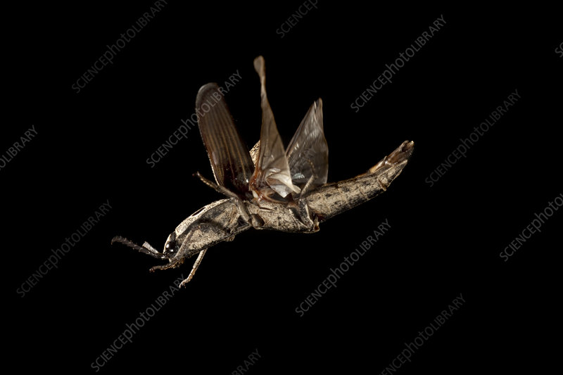 Click beetle in flight at night