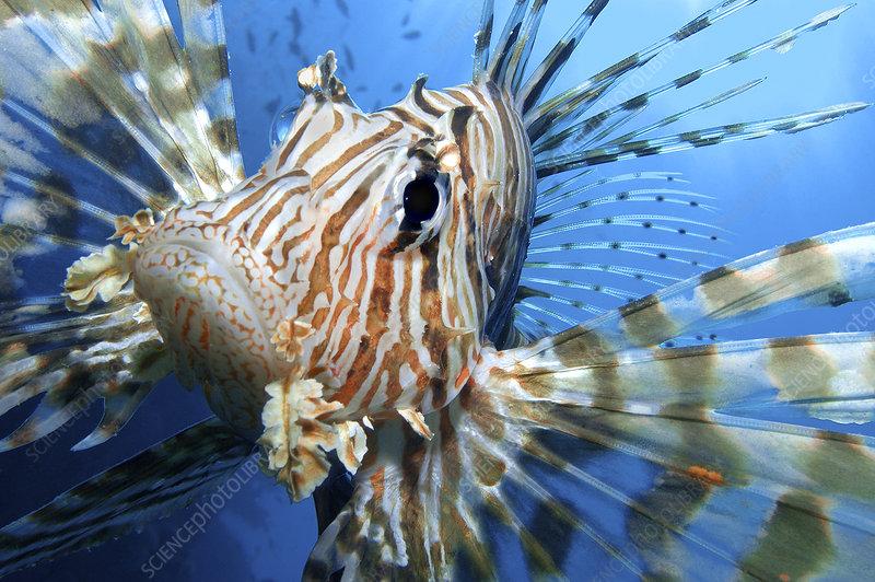 Close up portrait of female Lionfish