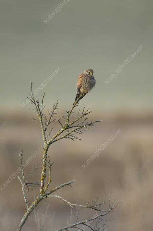 Common kestrel adult male perched in dead tree