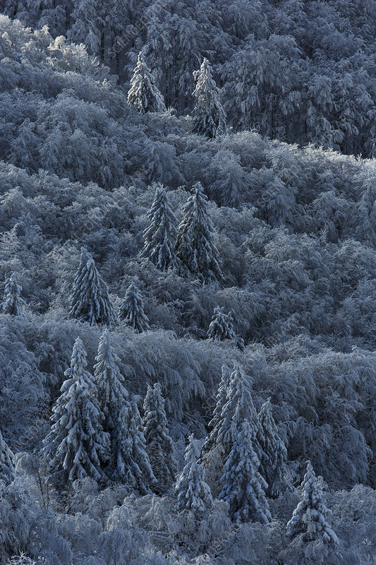 Coniferous forest covered in snow, Vosges Mountains, France