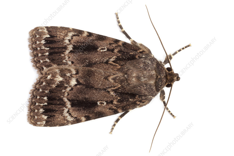 Copper Underwing