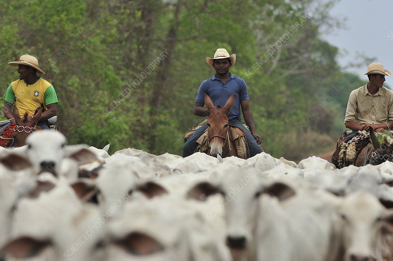 Cowboy driving a herd of cattle, Brazil