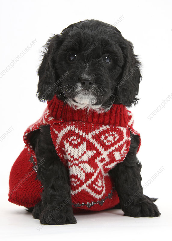 Cute black Cavapoo puppy