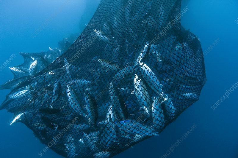 Drag net of a seine fishing vessel full of Yellowfin tuna