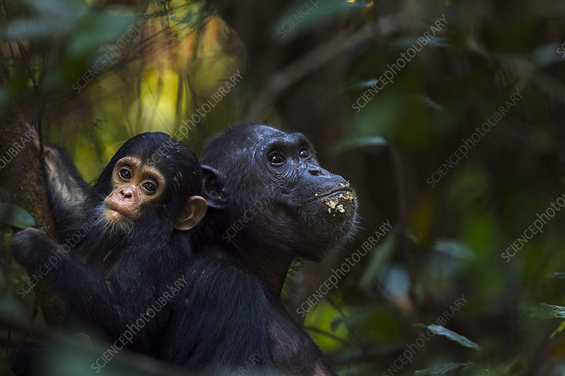 Eastern chimpanzee female