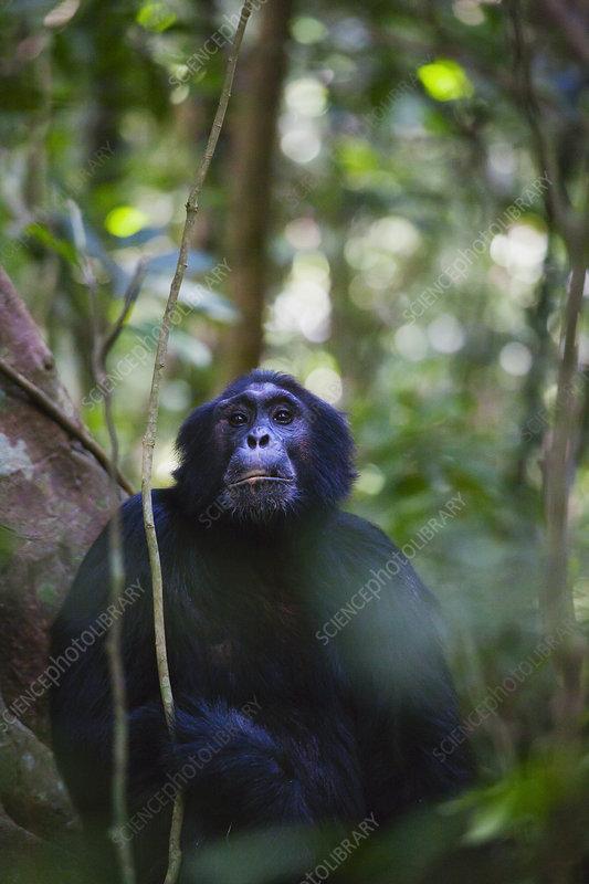 Eastern Common Chimpanzee male