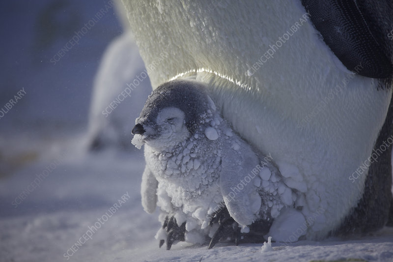 Emperor penguin chick covered in clumps of snow