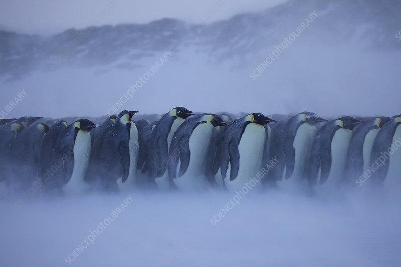 Emperor penguin huddle in bad weather, Antarctica, July