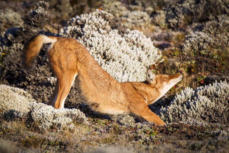 Ethiopian Wolf stretching