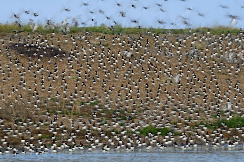 Eurasian Oystercatcher flock flying by high tide roost