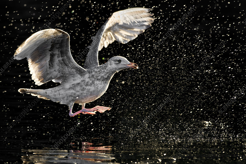 European Herring Gull juvenile landing, Norway, May